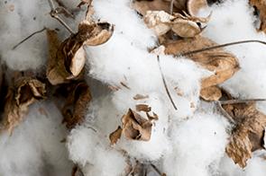 綿花を収穫・集積する